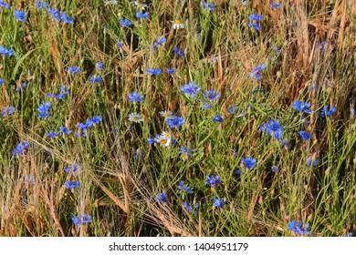 field with blue cornflowers. flowers cornflowers. many blue flowers among the ears on the field. blue flowers cornflowers
