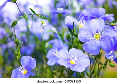 A field of blue flax blossoms at spring shallow depth of field.