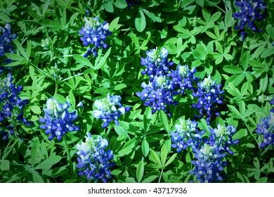 A field of bluebonnets close up