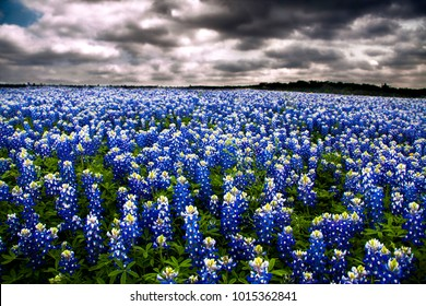 Field of bluebonnets outside of Austin Texas at Mule Shoe Park