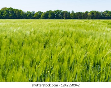 field of blurred grain because of the wind