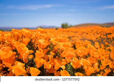 Field of bright orange poppies in California desert blooming under blue sky in close up low angle view.