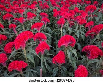 Field of bright red chicken cockscomb flowers (Celosia cristata)