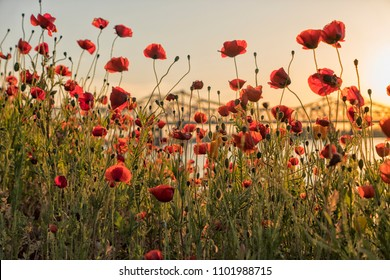 Field of bright red corn poppy flowers in summer at sunset near Mississippi river with Natchez bridge in background