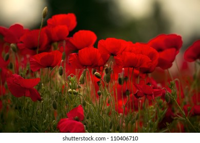 Field of bright red corn poppy flowers in spring