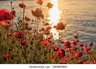 Field of bright red corn poppy flowers in summer at sunset near a river