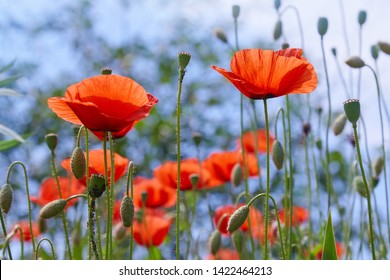 Field of bright red corn poppy flowers in summer. Poppy flowers in the meadow (wild poppy flower)