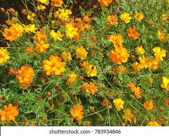 A field of bright yellow Coreopsis Sunkiss flowers in bloom during autumn