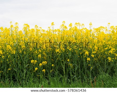 Field bright yellow flowers french countryside stock photo edit now a field of bright yellow flowers in the french countryside the flowers are grown to mightylinksfo