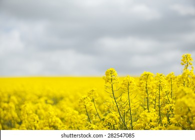 Field of bright yellow oil seed rape crop ready to be harvested