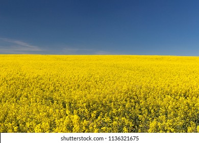 Field of bright yellow rapeseed in spring on blue sky. Rapeseed oil seed rape
