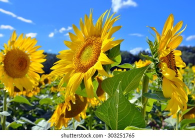 Field of a bright yellow sunflower against a blue sky. Summer concept. Provence, France. Small depth of field