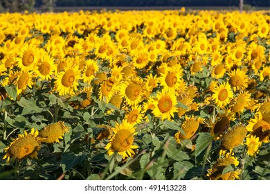 Field of Bright Yellow Sunflowers