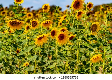 Field of bright yellow sunflowers (Helianthus annuus).