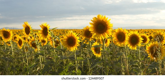 Field of brilliant sunflowers.