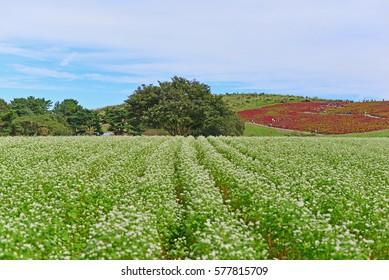 Field of buckwheat and Kochia with big tree at Hitachi Seaside Park in Hitachinaka, Ibaraki, Japan (Selective Focus)