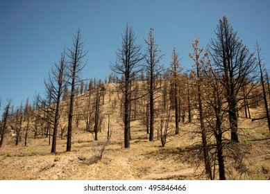 Field of burned trees in grassy field