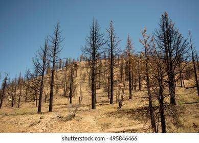 Field of burned trees in grassy field