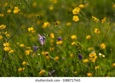 field buttercup flowers blossoming meadow at springtime sunrise morning mood in south germany