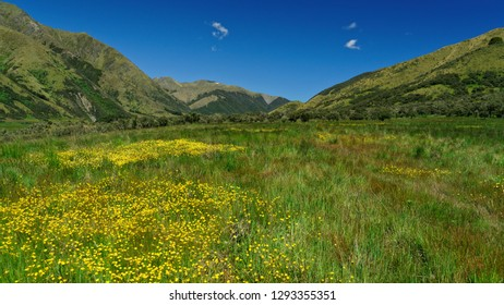 Field of buttercups on a beautiful sunny day, St James Walkway, Lewis Pass, New Zealand.