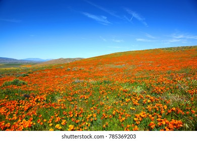 Field of California Poppies during Super Bloom