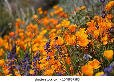 Field of California poppies in a super bloom