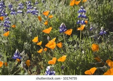Field of California Wildflowers