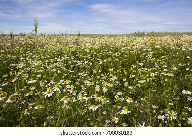 Field of camomile, Mecklenburg-Vorpommern, Germany, Europe