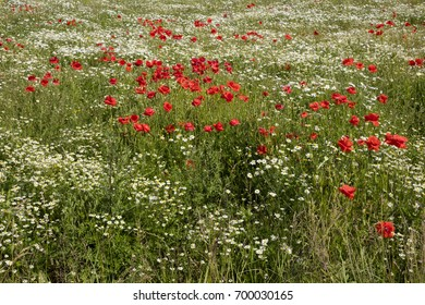 Field of camomile and poppy, Mecklenburg-Vorpommern, Germany, Europe