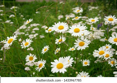 Field of camomiles. Camomile daisy flowers, 