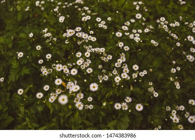 Field of camomiles at evening at nature. A lot of beautiful camomile flowers on a summer meadow.