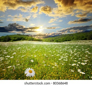 field of camomiles on a background sunset