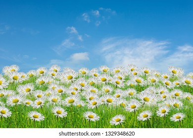 Field of camomiles at sunny day at nature