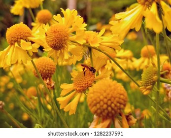 Field of camomille flowers with a native Brazilian bee sting less.