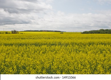 A field of canola
