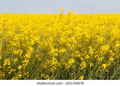 Field of canola with yellow flowers in Brittany during spring