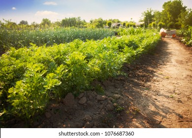 Field of carrots. Green carrot field on sunny day.