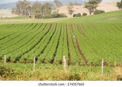 Field of Carrots in neat rows on rich farmland soil