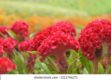 Field of Celosia argentea var. cristata or Red cockcomb, selective focus and blur background.