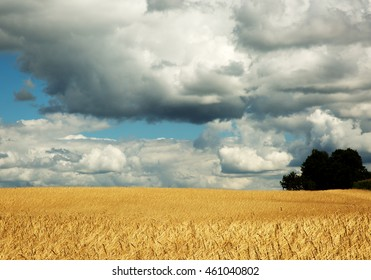 Field of cereal in the summer on a beautiful sunny day under blue sky with thick clouds. Poland, Pomerania. Horizontal view.