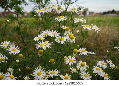 Field chamomile (Anthemis arvensis) along the road in Holland