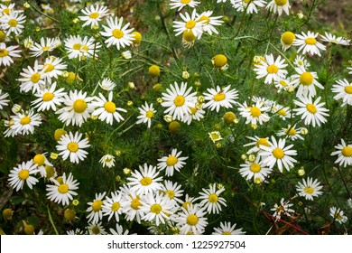 Field chamomile (Anthemis arvensis). Herbaceous plant, is a winter or spring annual.
