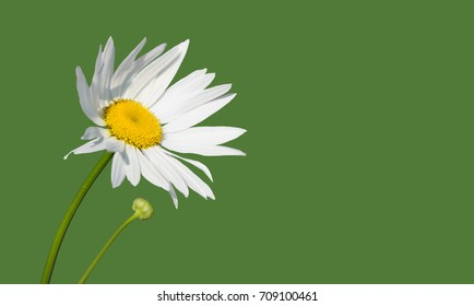A field chamomile flower that develops in the wind.