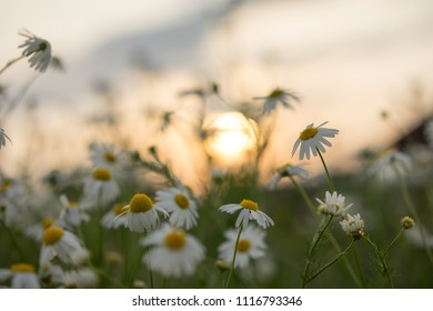 Field of chamomiles flowers in the nature