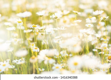 Field chamomiles flowers in sunset lights. Beautiful nature scene with blooming medical chamomiles in sun day. Closeup summer background.