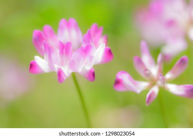 Field of chinese milk vetch, Astragalus sinicus, blooming at early summer
