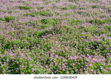 Field of chinese milk vetch, Astragalus sinicus, blooming at spring rice field