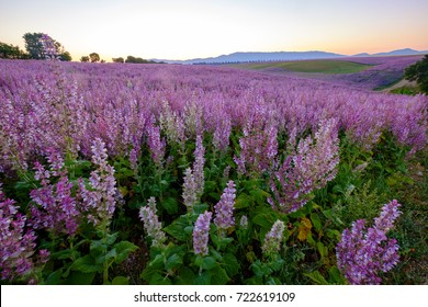 Field of clary sage in the early morning, before the sunrise. Provence, France.