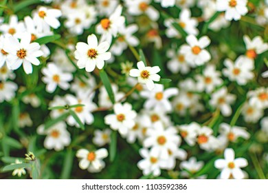 Field of closeup chamomile flower