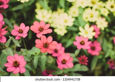Field of closeup daisy